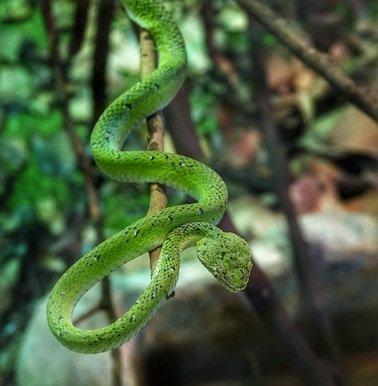 trimeresurus-pitviper-snake
